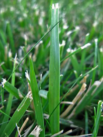 Is Crabgrass Taking Over Your Lawn Crabgrass Vs Fescue